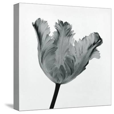 Parrot Tulip I-Tom Artin-Stretched Canvas Print