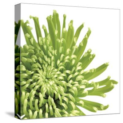 Green Bloom III (detail)-Jenny Kraft-Stretched Canvas Print