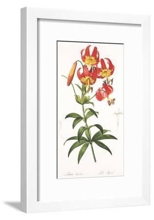 Redoute Lilium Superbum-Pierre-Joseph Redout?-Framed Art Print