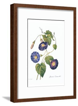 Redoute Ipomaea Quamoclit-Pierre-Joseph Redout?-Framed Art Print