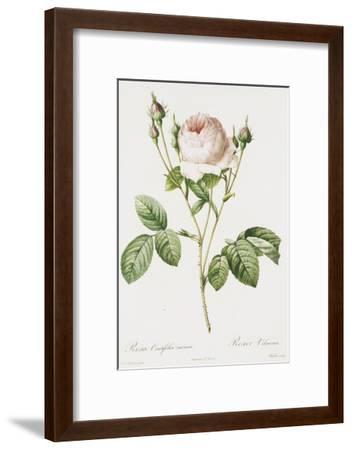 Redoute Rosa Centifolia Carnea-Pierre-Joseph Redout?-Framed Art Print