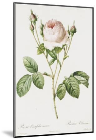 Redoute Rosa Centifolia Carnea-Pierre-Joseph Redout?-Mounted Art Print