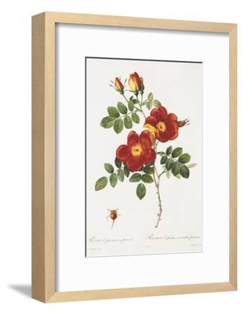 Redoute Rosa Eglanteria var. punicea-Pierre-Joseph Redout?-Framed Art Print
