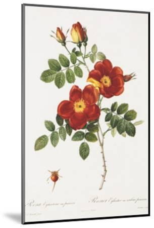 Redoute Rosa Eglanteria var. punicea-Pierre-Joseph Redout?-Mounted Art Print
