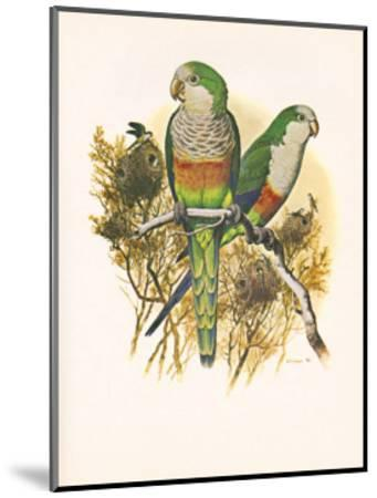 Monk Parakeet no. 461--Mounted Art Print