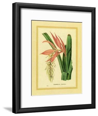 Bromelia Zebrina-C. Van Geel-Framed Art Print