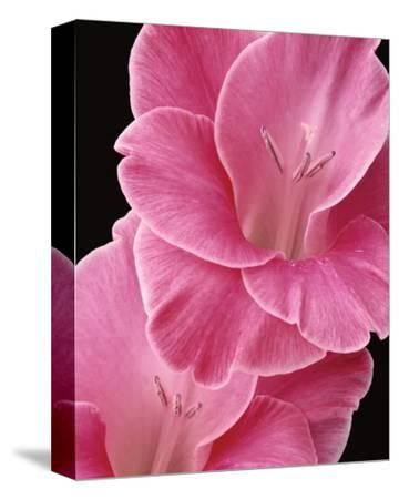 Gladiolus V-Danny Burk-Stretched Canvas Print