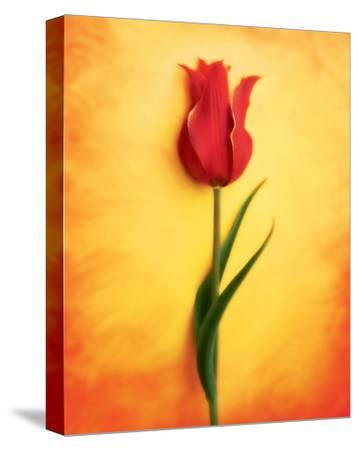 Tulip III-Christine Zalewski-Stretched Canvas Print