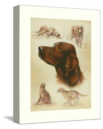 Irish Setter-Libero Patrignani-Stretched Canvas Print