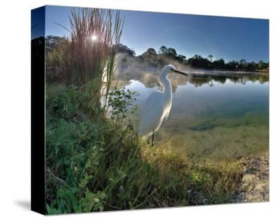Egret Sunrise-Steve Hunziker-Stretched Canvas Print