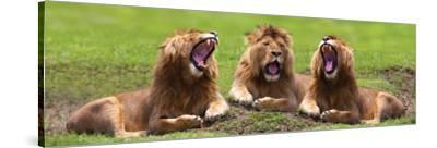 Lions Yawning--Stretched Canvas Print