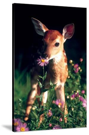 Fawn--Stretched Canvas Print