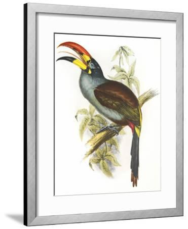 Pteroglossus Hypoglaucus-Aaron Ashley-Framed Art Print