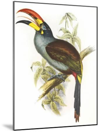 Pteroglossus Hypoglaucus-Aaron Ashley-Mounted Art Print