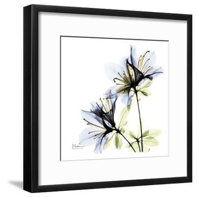 Blue Twin Azalea in Bloom-Albert Koetsier-Framed Art Print