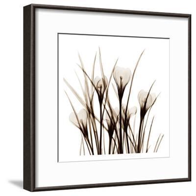 Crocus Sienna-Albert Koetsier-Framed Art Print