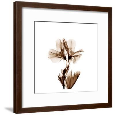 Geranium in Sienna-Albert Koetsier-Framed Art Print