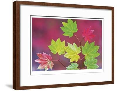 Vine Maple Leaves-Donald Paulson-Framed Giclee Print