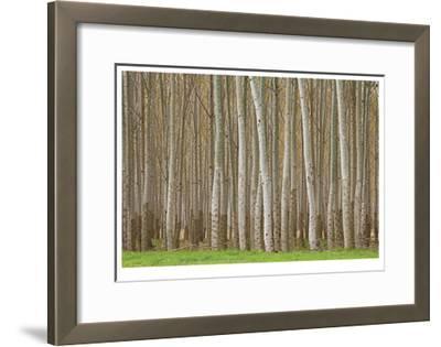 Poplar Trees-Donald Paulson-Framed Giclee Print