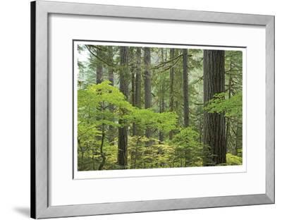 Mount Rainier Forest-Donald Paulson-Framed Giclee Print