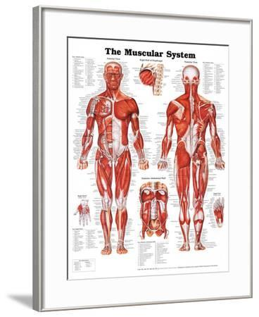 The Muscular System Anatomical Chart--Framed Poster