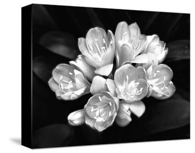 Camellia Bloom-Harold Silverman-Stretched Canvas Print