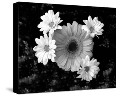 Gerber Daisies-Harold Silverman-Stretched Canvas Print