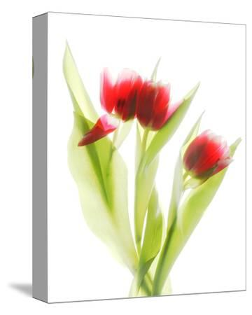 Red Tulips VI-Judy Stalus-Stretched Canvas Print