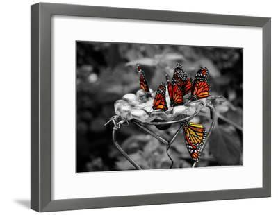 Butterflies at the Bronx Zoo NYC--Framed Poster