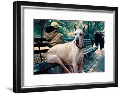 Great Dane on Central Park Bench NYC--Framed Poster