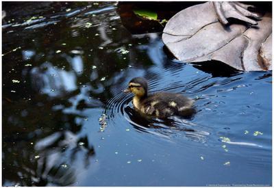 Baby Ducks on Pond--Framed Poster