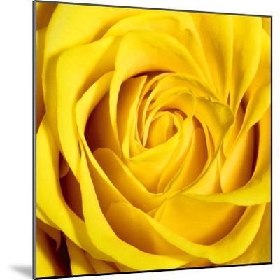 Yellow Rose-Joseph Eta-Mounted Giclee Print
