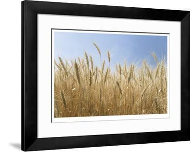 Golden Wheat-Donald Paulson-Framed Giclee Print