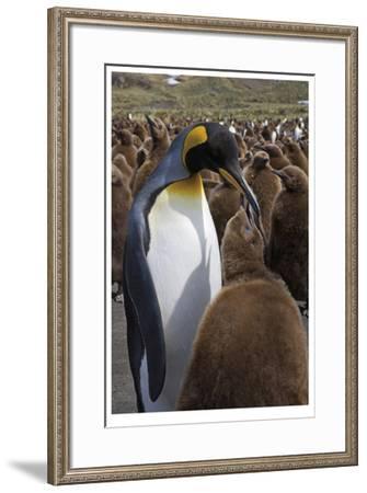 King Penguin Feeding Chick-Donald Paulson-Framed Giclee Print