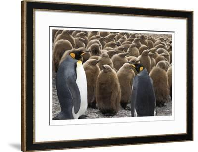 King Penguins With Chicks-Donald Paulson-Framed Giclee Print