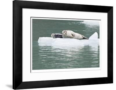 Seal With Pup On Iceberg-Donald Paulson-Framed Giclee Print