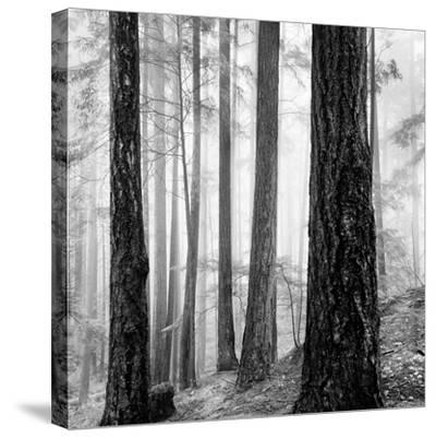 Capilano Forest-Lsh-Stretched Canvas Print