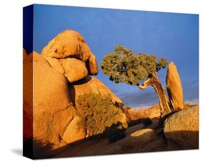 Rocking Tree--Stretched Canvas Print
