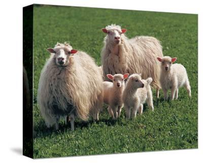Sheep Family--Stretched Canvas Print