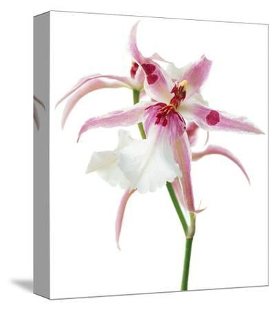 Pink Orchid--Stretched Canvas Print