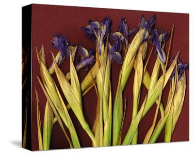 Purple Garden Irises--Stretched Canvas Print
