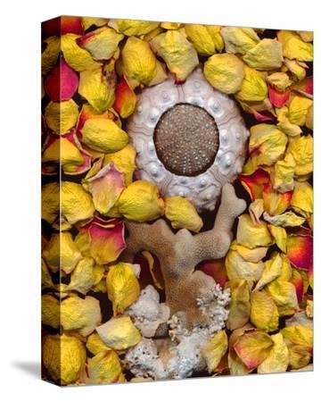 Sea Urchin rose Petals--Stretched Canvas Print