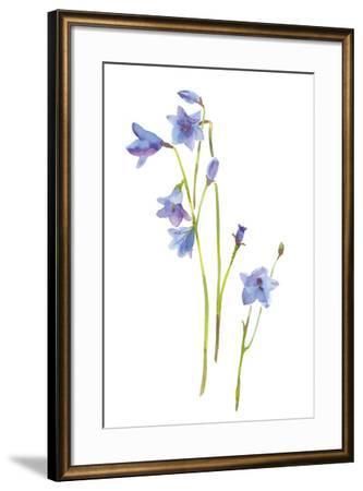 Harebells III-Sandra Jacobs-Framed Giclee Print