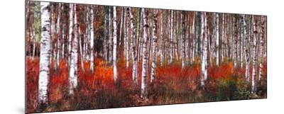Birch Trees in Red--Mounted Art Print