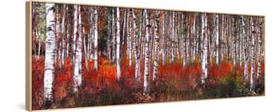 Birch Trees in Red--Framed Art Print