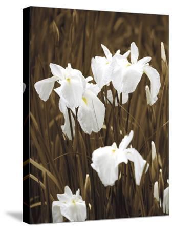 Spring Blossoms I-Boyce Watt-Stretched Canvas Print