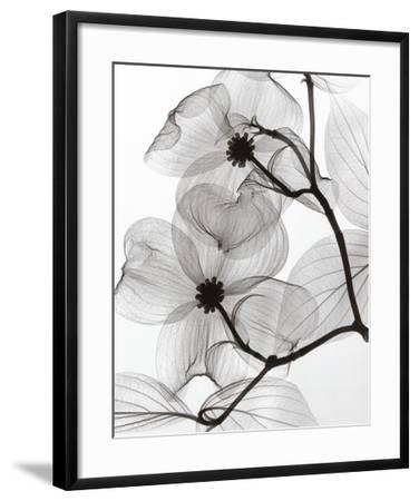 Dogwood Blossoms Positive-Steven N^ Meyers-Framed Art Print