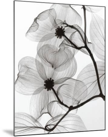 Dogwood Blossoms Positive-Steven N^ Meyers-Mounted Art Print
