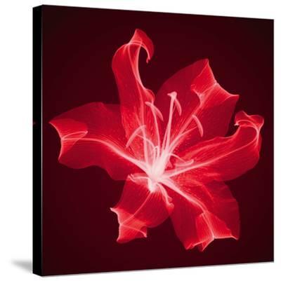 Radiant Lily-Hugh Turvey-Stretched Canvas Print