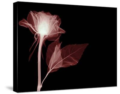 White Rose Glow-Hugh Turvey-Stretched Canvas Print